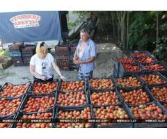 томат грунтовой