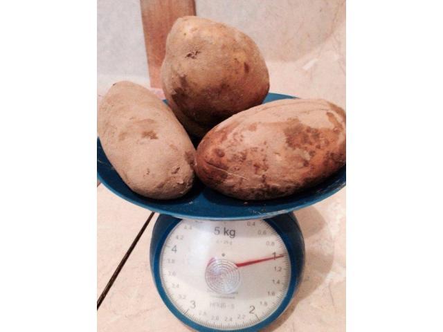 Купим картофель от 20 до 2000 тонн.