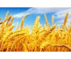 Пшеница фуражная закупка оптом