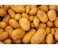 продам крупный молодой картофель оптом