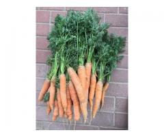 Морковь урожая 2018