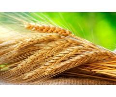 Семена озимой пшеницы Гром, Таня, Юка