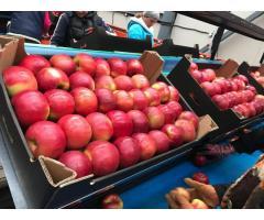 Яблоки оптом из Беларуси от производителя, 1.60 руб./кг.