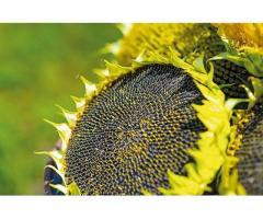 Семена подсолнечника (гибриды и сорта)