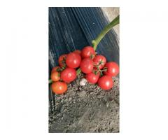 продам помидоры нового урожая 2021 года